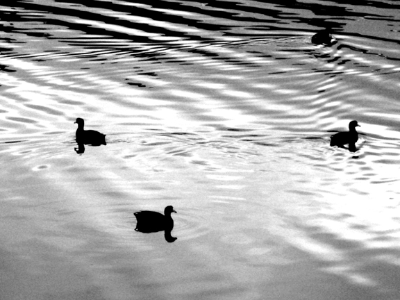 gray bw ducks 1