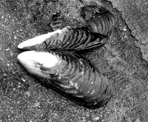 gray bw mussel shell