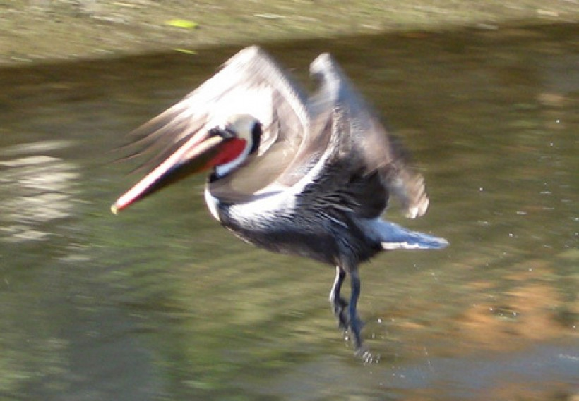 cropped-flying-pelican.jpg