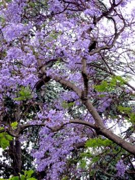 jac blossoms 2