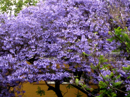 jac blossoms 3