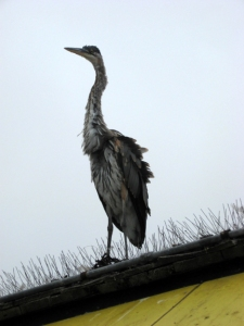Un IDd heron at Redondo Beach Pier