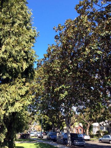 Cedar and magnolia trees