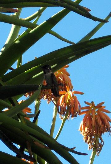 hummingbird 2 small