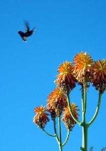 hummingbird 3 small