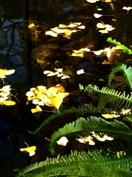floating ginko leaves
