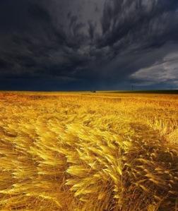 thunderstormwheatfield