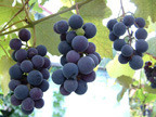 small-grapes