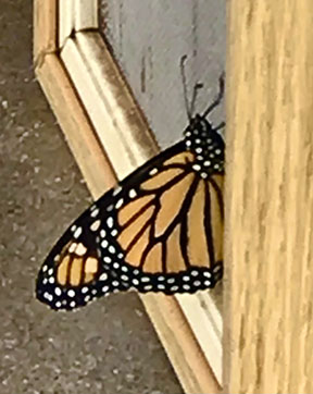 monarch young